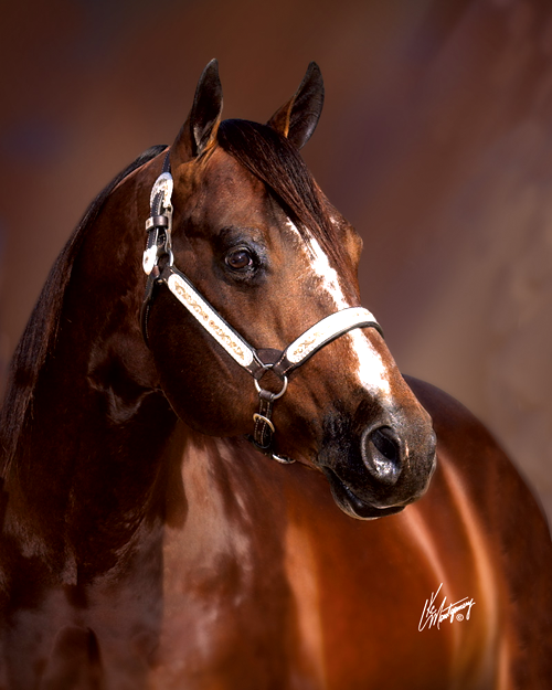 Blazing Hot AQHA Stallion